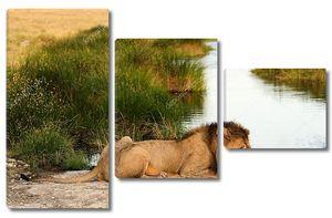 Лев на водопое
