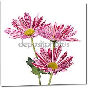 Розовый цветок хризантемы на белом фоне