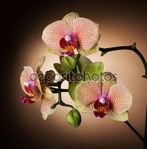Фантастическая орхидея