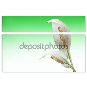 Каллы лилии на зеленый