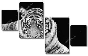 Портрет суматранского тигра в черно-белом цвете