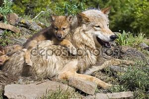 Волчонок и мать на сайте ден