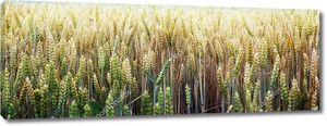 Пшеничные колосья в поле