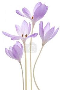 Безвременник цветы