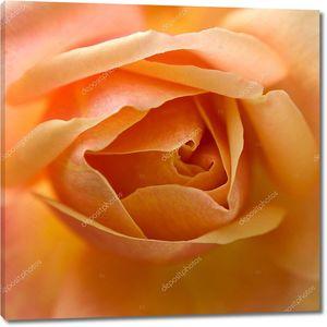 Желтая роза раскрывается