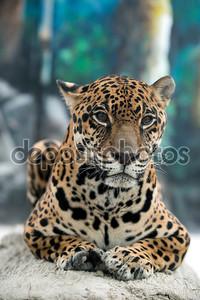 Ягуар (panthera onca )