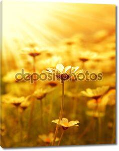 Дейзи Цветок поле над закат