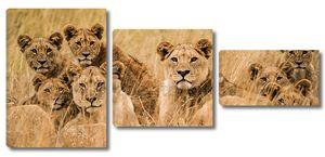 Африканские львы в траве