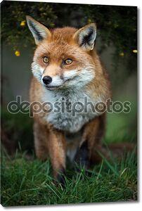 Фокс, стоял в траве