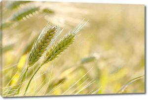 Золотые колосья в поле в свете заходящего солнца