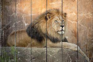 большой мощный Лев опирается на высокий валун на закате
