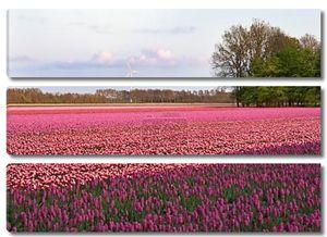 Фиолетовый Поле тюльпанов в Нидерландах