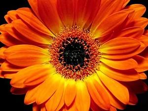 оранжевая гербера