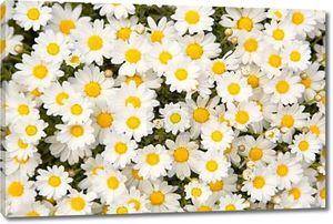Прекрасный цветок ромашки цветы фон