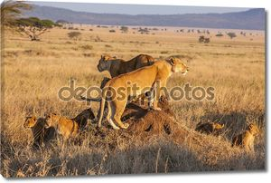 Охота Льва гордость