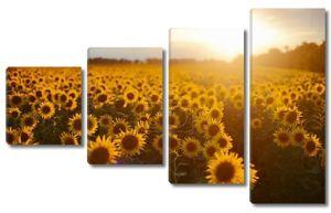 Пейзаж поле подсолнечника. поле цветущих подсолнухов на bac