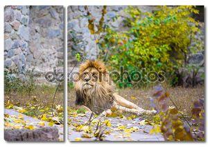 Африканский лев большой