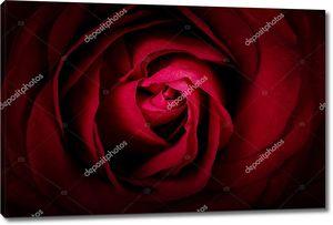 Темная бордовая роза