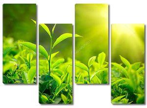 зародыш чая и листья