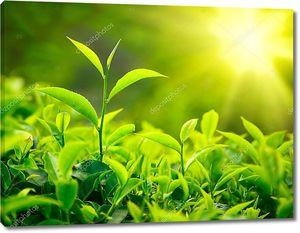 Росток чая и листья