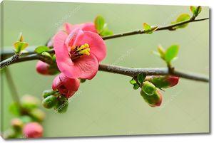Японская вишня в цвету