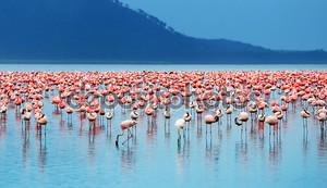 Африканский Фламинго