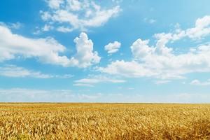 Пшеничное поле, уходящее за горизонт