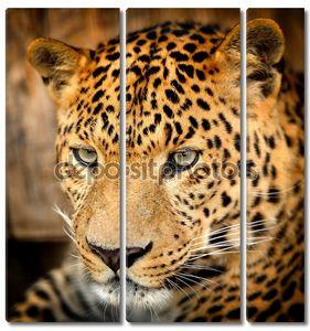 Портрет  задумчивого леопарда