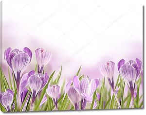 Весенние луговые крокусы