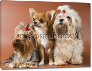 собаки в студии