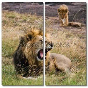 Лев охраняет прайд