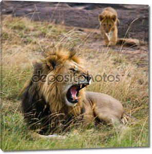 Взрослый лев с расслабляющим детеныш