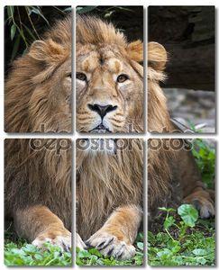 спокойствие азиатского льва, отдыхая в лесной тени. Царь зверей, большой кошкой в мире. наиболее опасные и могучий хищник мира. Дикая красота природы