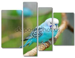 Синий волнистых попугаев pet птиц