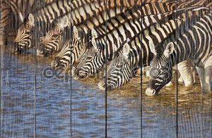 Зебры питьевой
