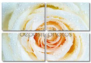 Белая роза с каплями воды