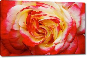 Желтый розовый красный оранжевый роза макро