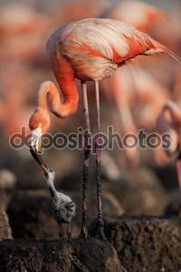Ребенка птиц Карибского бассейна Фламинго.