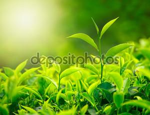 Росток чая и чайные листья