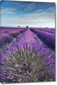 Сиреневое поле в Провансе в ранние часы утром