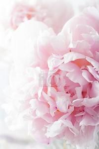 красивый Розовый пион цветочный фон