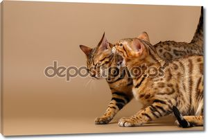 Две кошки бенгальские шипение