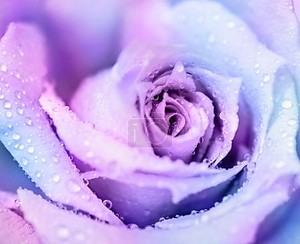 Зимняя роза фон