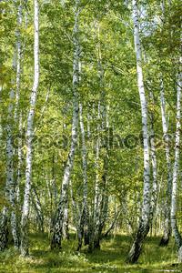 Красивый березовый лес