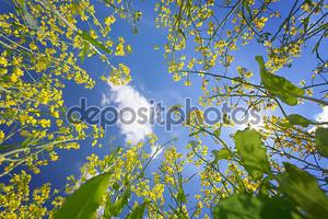 Небо, обрамленная цветения рапса