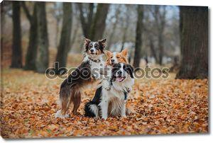 послушный колли границы породы собак. портрет, осень, природа, уловки, обучение