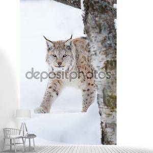 Европейская рысь, пробирается в снегу