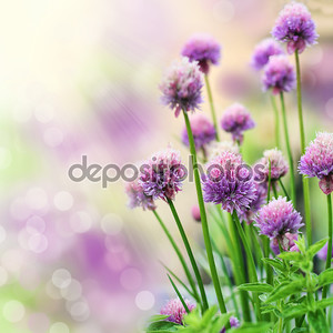 Blooming chive herb