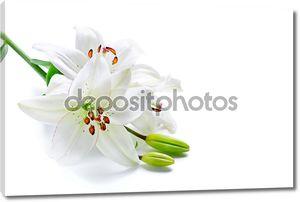 Ветка белой лилии, изолированные на белом