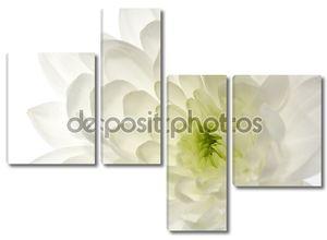 Цветок хризантемы белые